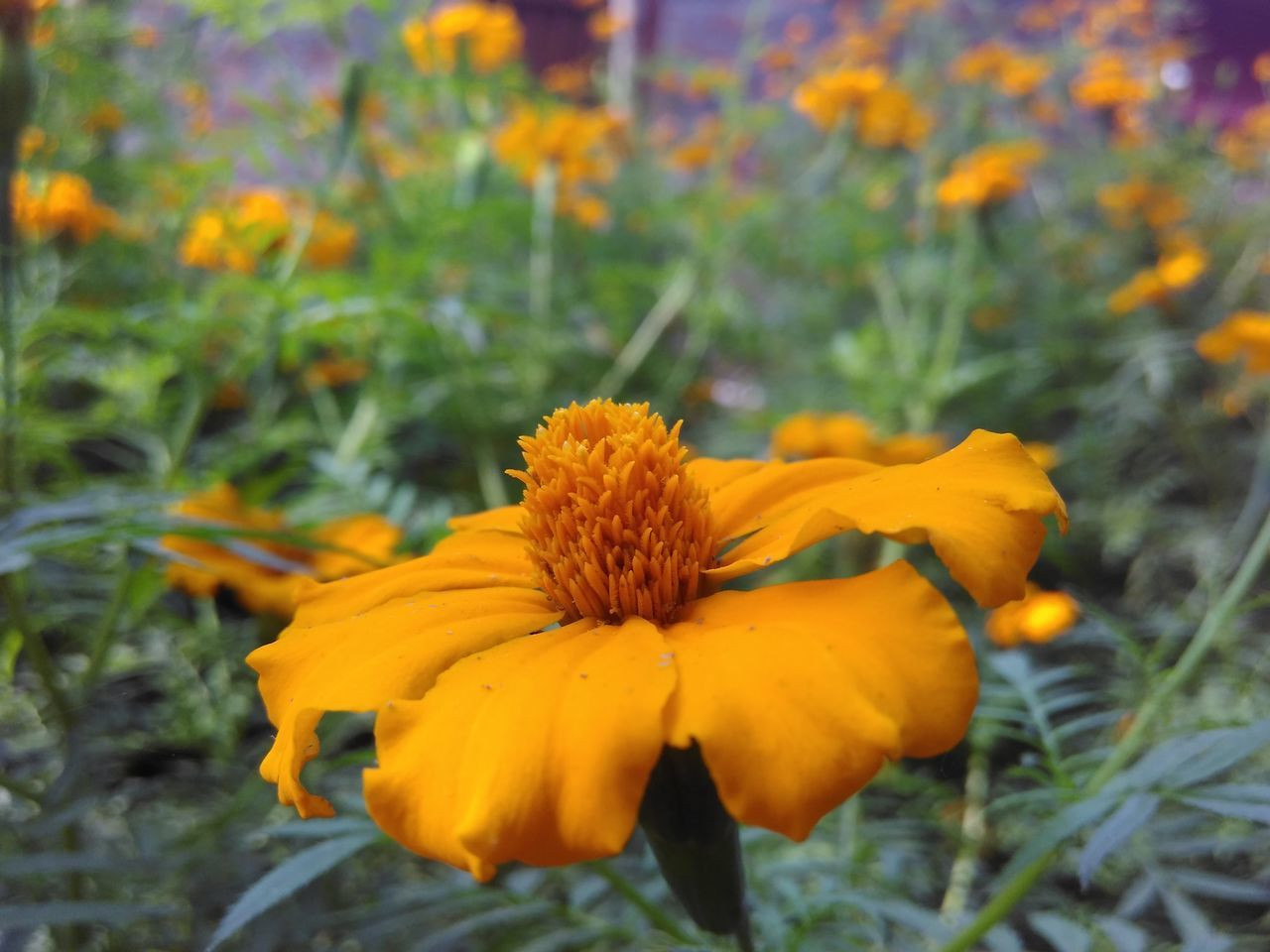 Flower Nature Plant Beauty In Nature Growth Fragility Petal Orange Color Focus On Foreground Close-up Outdoors Freshness Day Flower Head Blooming No People