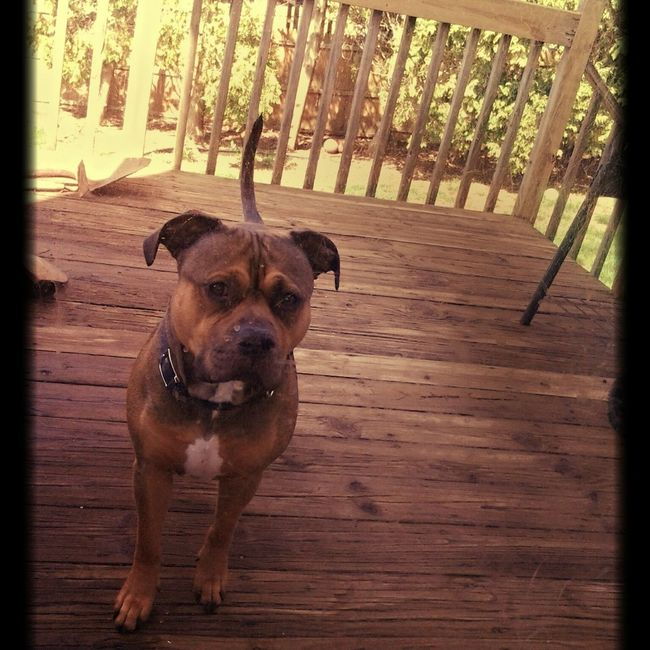 Haze is one of my favorite subjects Pitbull Advocate Pitbull Bullybreed Handsome