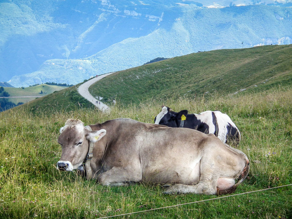 Animal Animal Themes Animale Beauty In Nature Bergwelten Cow Day Domestic Animals Grass Grazing Kuh Landscape Livestock Mammal Montagna Mountain Mucca Nature No People Outdoors Pasture Sky Tier Togetherness