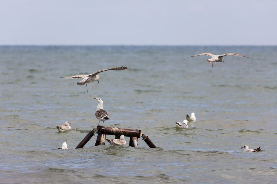 Seagull attacking another seagull Animal Themes Animal Wildlife Animals Attacking Animals In The Wild Baltic Sea Beauty In Nature Bird Day Flock Of Birds Flying Horizon Over Water Irritation Large Group Of Animals Mid-air Nature Outdoors Perching Scenics Sea Seagull Sky Spread Wings Swimming Water Waterfront