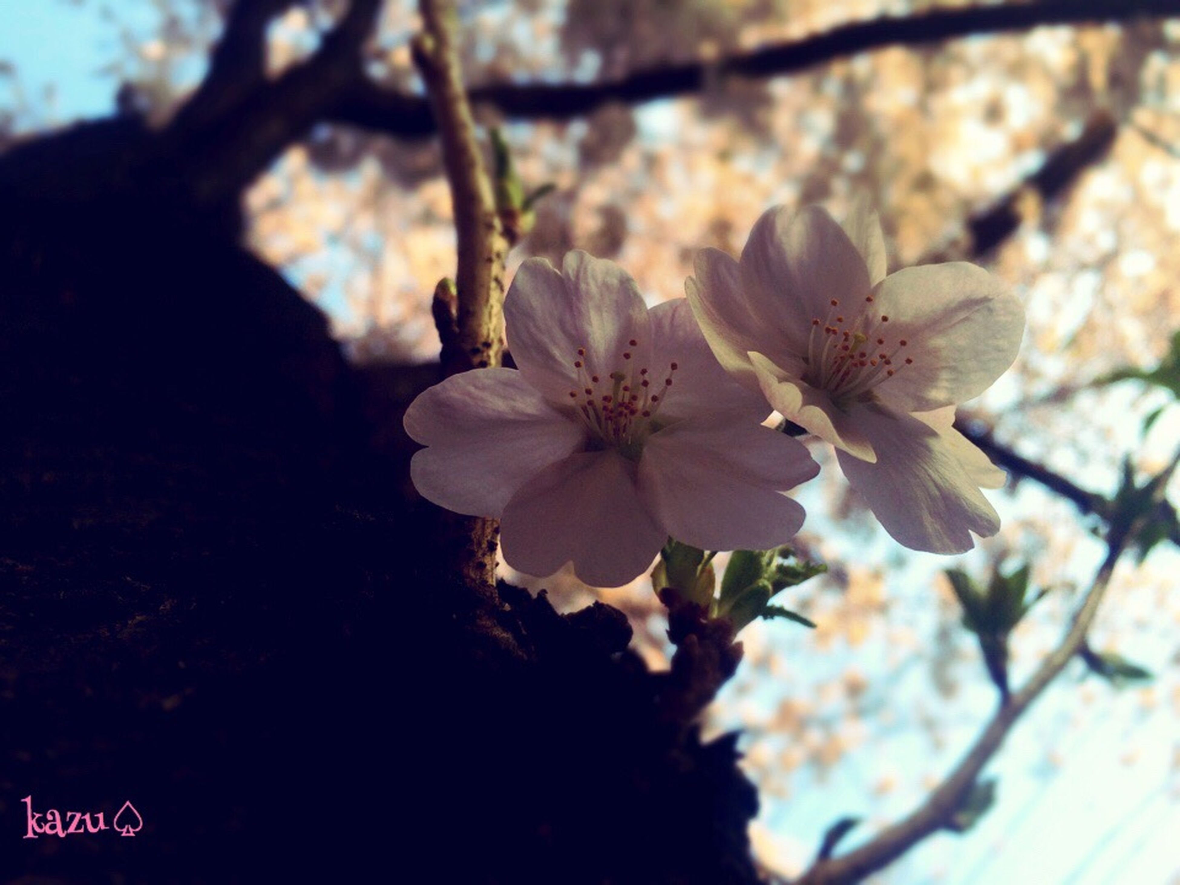 flower, growth, freshness, tree, branch, beauty in nature, fragility, nature, petal, focus on foreground, close-up, flower head, blooming, cherry blossom, blossom, in bloom, low angle view, springtime, outdoors, day