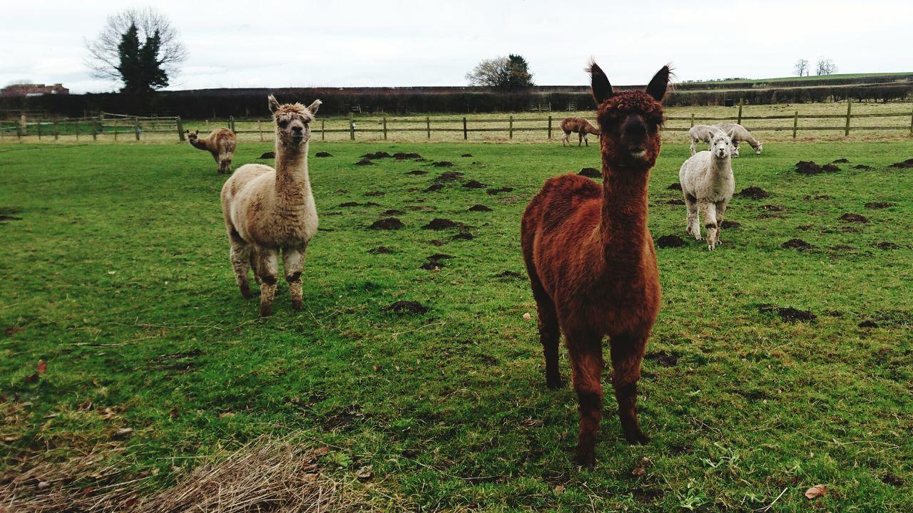 Grass Landscape Mammal Livestock Outdoors Nature