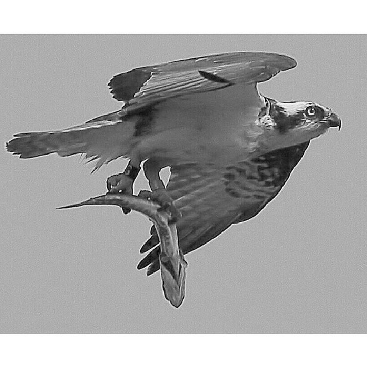 Repost/edit for All_mighty_predators_bnw Nature_uc Md_animals Bestnatureshots elite_natureshooter fabfaunas feather_perfection jj_justnature rsa_nature_birds rsa_nature royalsnappingartists udog_feathers whatschirping