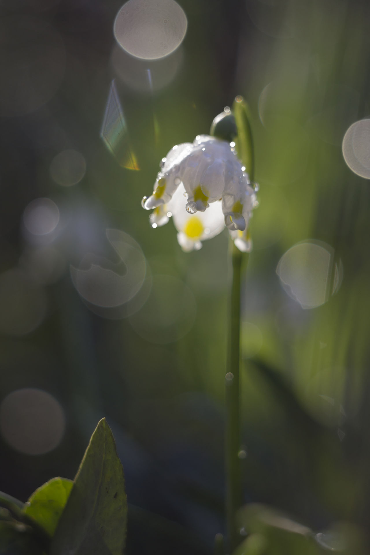 Blossom Bokeh Botany Close-up Flower Flower Head Fragility Freshness Growth Leucojum Leucojum Vernum Petal Springtime