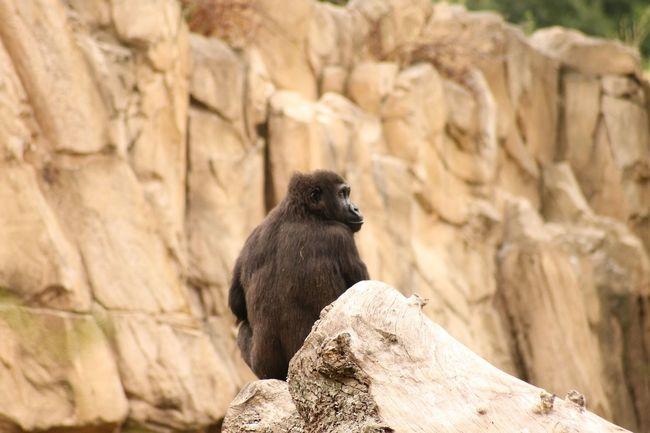 La force tranquille... Réflexion Animal Nature Gorille Zoo Canon Canonphotography Animal Portrait Animal Photography 💃💃💃💃