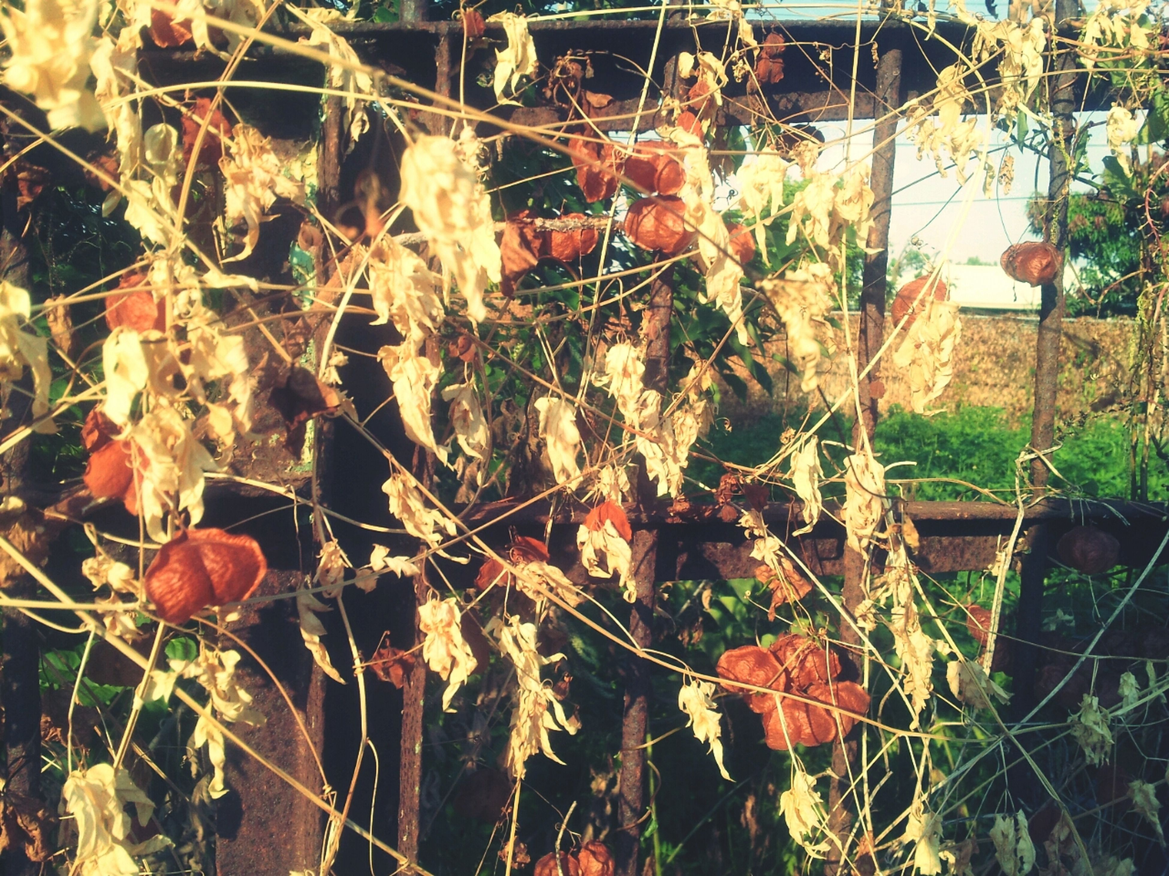 plant, growth, leaf, close-up, red, day, branch, outdoors, nature, front or back yard, no people, focus on foreground, building exterior, hanging, sunlight, built structure, fence, growing, architecture, dry