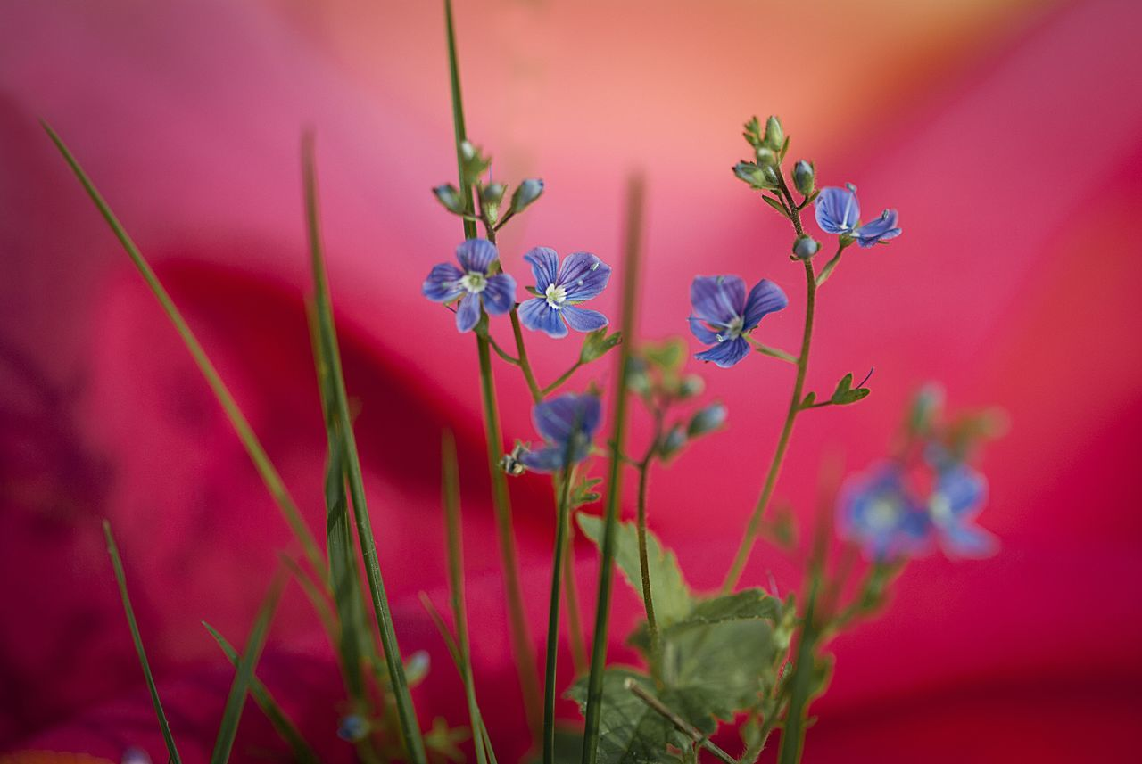 Beauty In Nature Blue Flowers Close-up Concept Conceptual Contrast Day EyeEm Best Shots EyeEm Gallery Flower Fragility Freshness Growth High Angle View High Resolution Macro Nature No People Nostalgia Outdoors Pink Plant Purple Red Background Taken Photos Millennial Pink