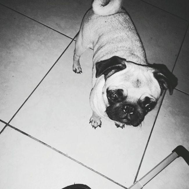 Pug Black and White First Eyeem Photo