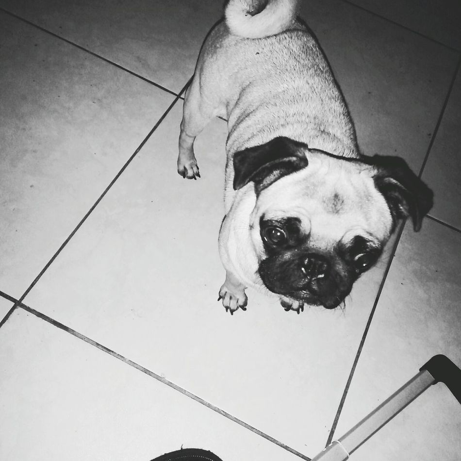 Pug Black and White First Eyeem Photo