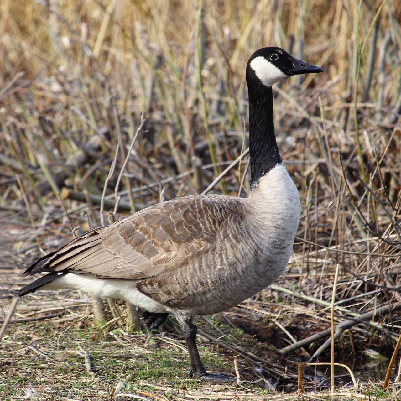 animals in the wild, bird, animal themes, one animal, animal wildlife, field, day, goose, nature, gosling, outdoors, water bird, no people, grass