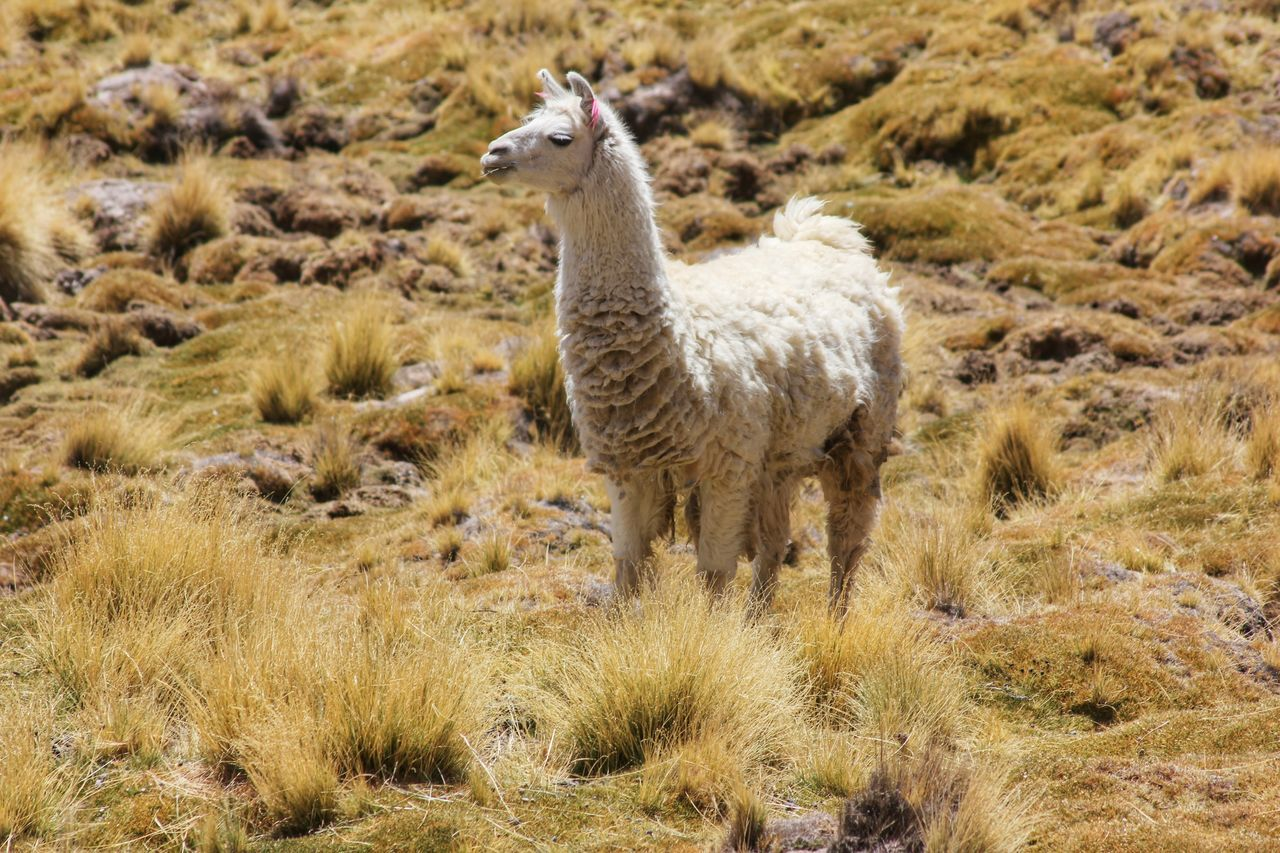 Beautiful stock photos of llama, Animal, Animal Hair, Animal Themes, Day