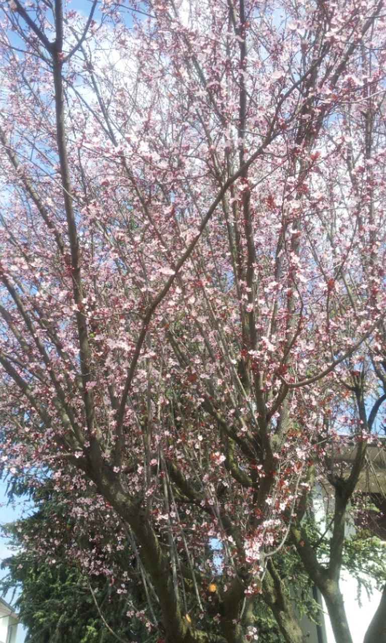 tree, branch, flower, growth, low angle view, freshness, beauty in nature, nature, blossom, cherry blossom, fragility, cherry tree, sky, springtime, in bloom, day, pink color, outdoors, no people, tranquility