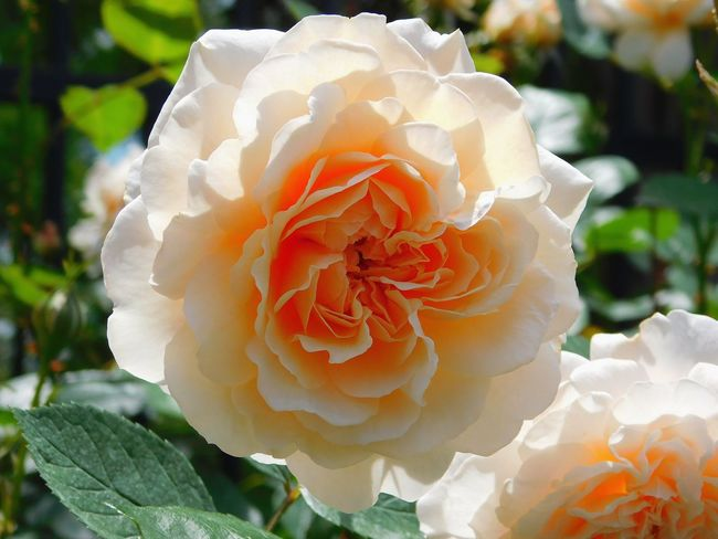 Peach Rose Flowers,Plants & Garden Mother Natures Beauty... Roses