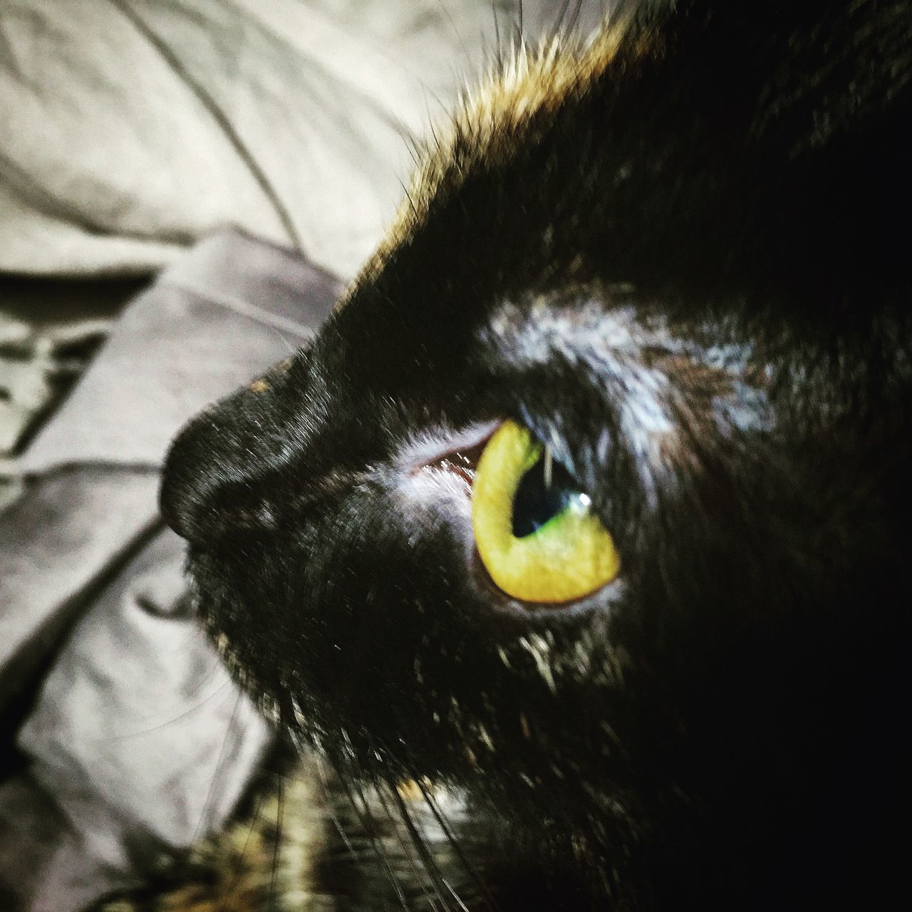 domestic cat, one animal, pets, domestic animals, animal themes, feline, cat, mammal, indoors, no people, close-up, portrait, nature, day