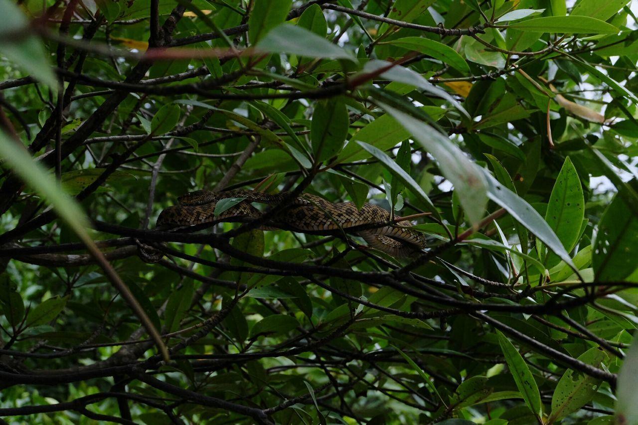 Viper  Mangrove Tour Langkawi Island