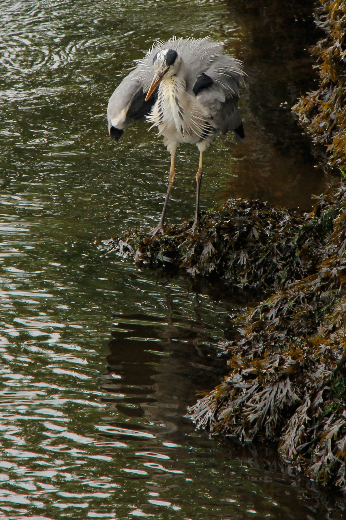 A Heron taking an early morning bath in the river Lee, in Cork, Ireland, Then flying up over the bridge and off down stream. B Bird Bath Bird Bathing Bird Photography Cork Cork City Day Feathers Flight Heron Herons No People Outdoors River River Lee Shake Shake Your Feathers