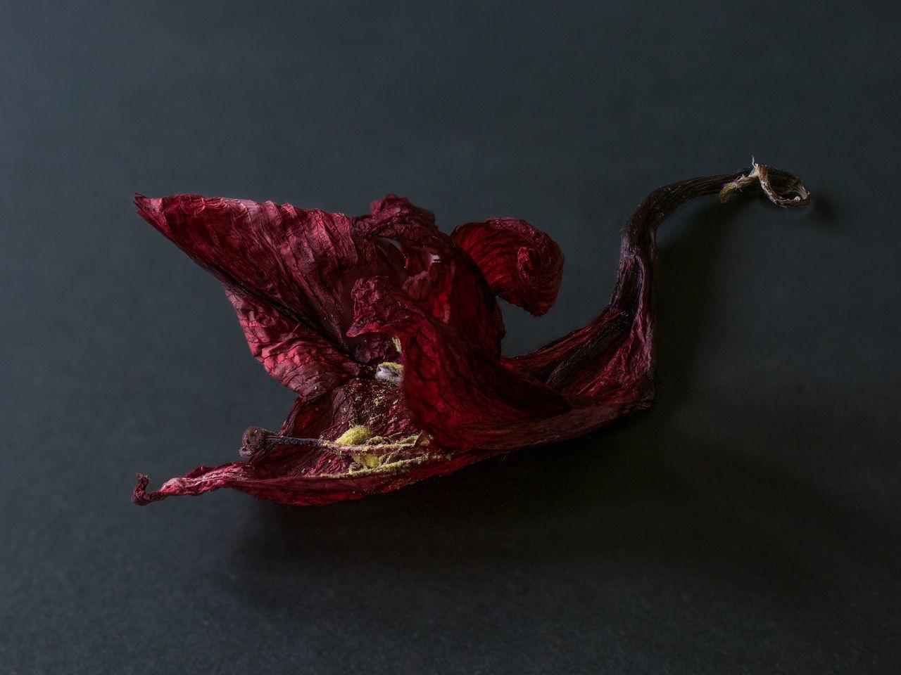 Amaryllis Flower Black Background Close-up Dark Dead Flower Dried Flowers Red Studio Shot