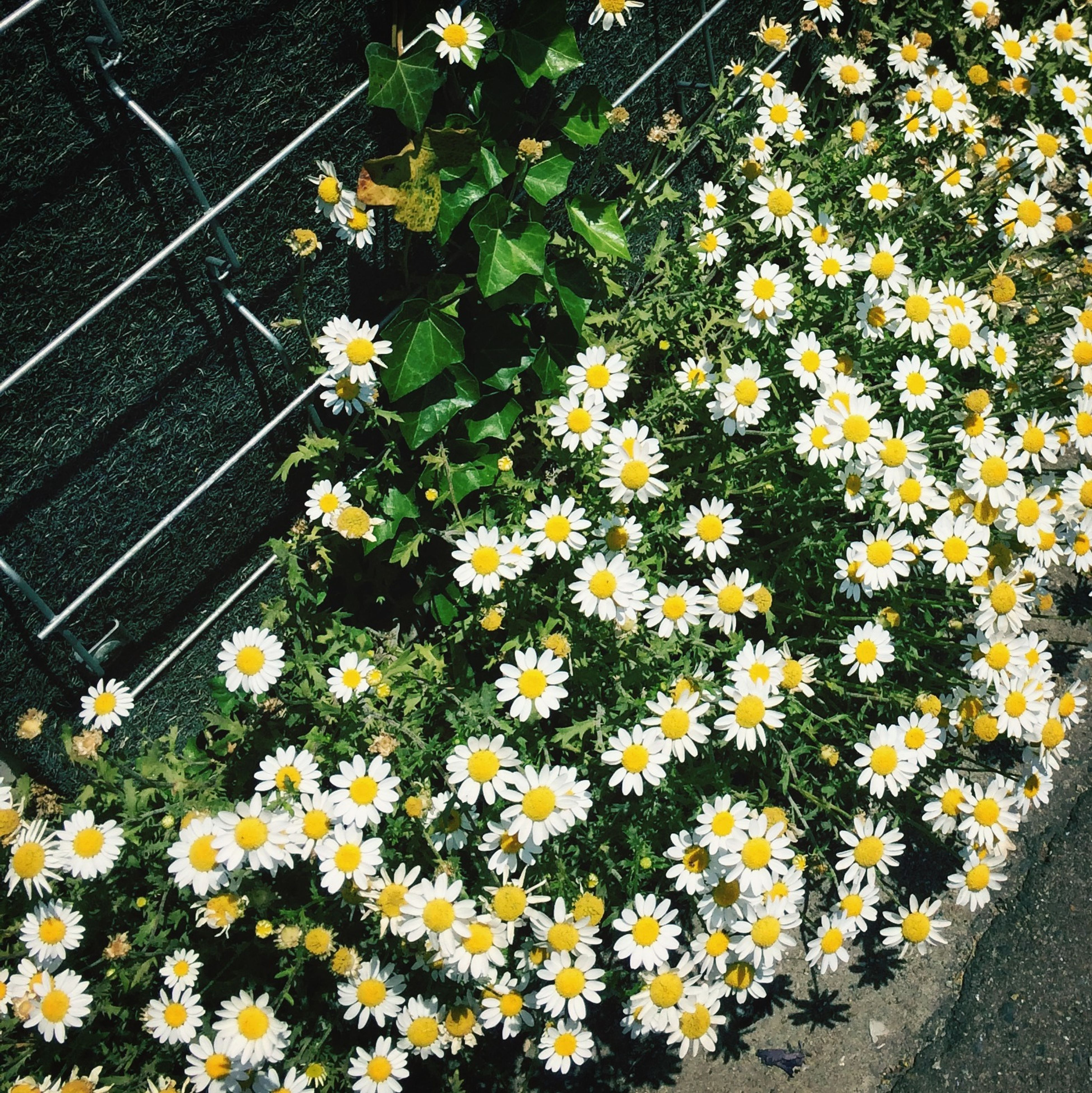 flower, freshness, high angle view, fragility, growth, yellow, petal, plant, beauty in nature, white color, nature, daisy, flower head, blooming, in bloom, blossom, day, outdoors, no people, field