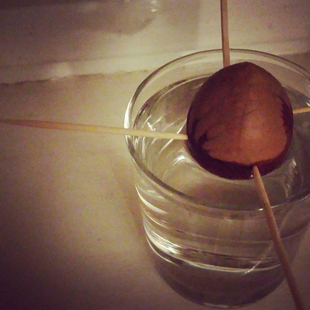 Avokado 🌱 Iamalittlefarmer Plant Avocado Vstavejseminkoholala Zatimjenpecka