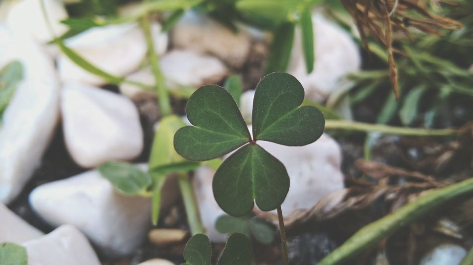 Growth Nature Leaf Plant Green Color Close-up Beauty In Nature No People Outdoors Day Freshness Green Color First Eyem Photo Firsteyeemphoto First Eyeem Photo Trebol Treboldetreshojas Trebol🍀 Treboles Agriculture Tree Sapling Greenhouse