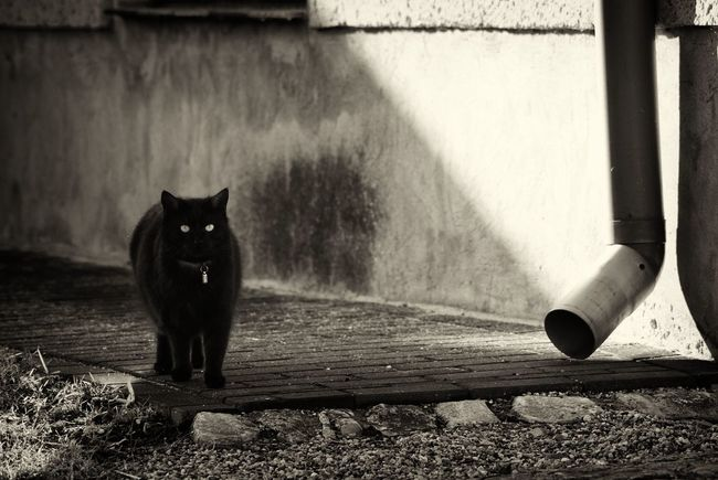 Cat CDRE Cats Domestic Cat Pets Domestic Animals One Animal Animal Themes Dark Darkness And Light Monochrome Sepia Sepia_collection Cats Of EyeEm Pet Black Cat Cat Eyes Mysterious Mystery Mystic Light And Shadow Shadow Grunge GrungeStyle Waiting Watching
