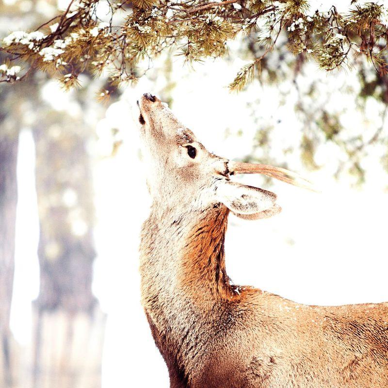 Snow ❄ Wintertime Cheese! Cold Days Snow Deer Wildlife First Eyeem Photo Romania