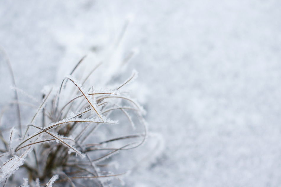 Beauty In Nature Close-up Cold Temperature Day Frost Frozen Frozen Plants Grass Grass In Snow Nature No People Outdoors Plant Snow Winter Cold Cold Days Cold Winter ❄⛄ Macro EyeEmNewHere EyeEmNewHere