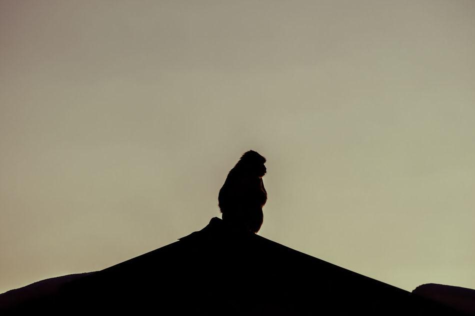Animal Animal Themes Monkey Monkey Sitting Nature Outdoors Silhouette Sky Sunset