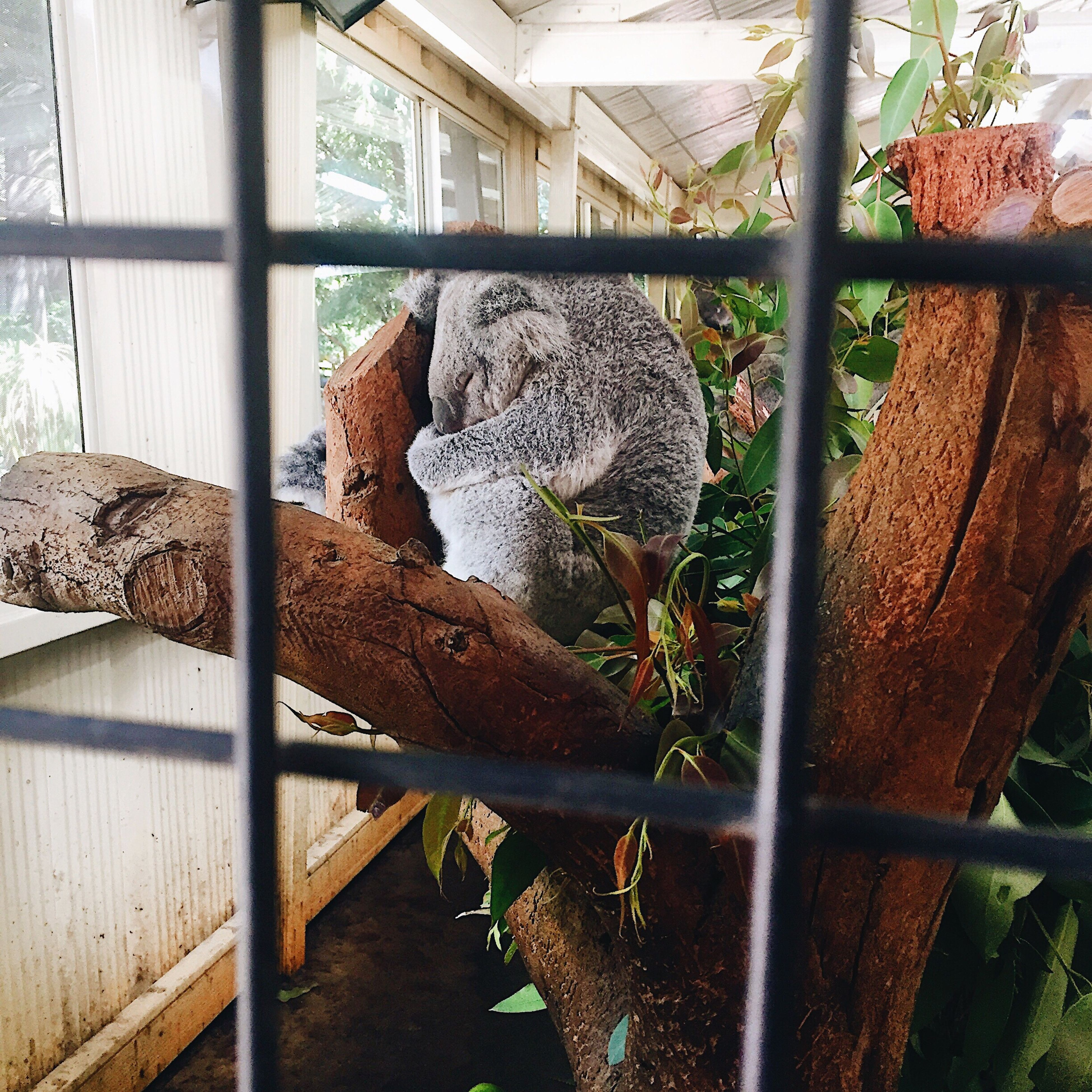 animal themes, mammal, animals in the wild, no people, day, relaxation, one animal, nature, indoors, koala