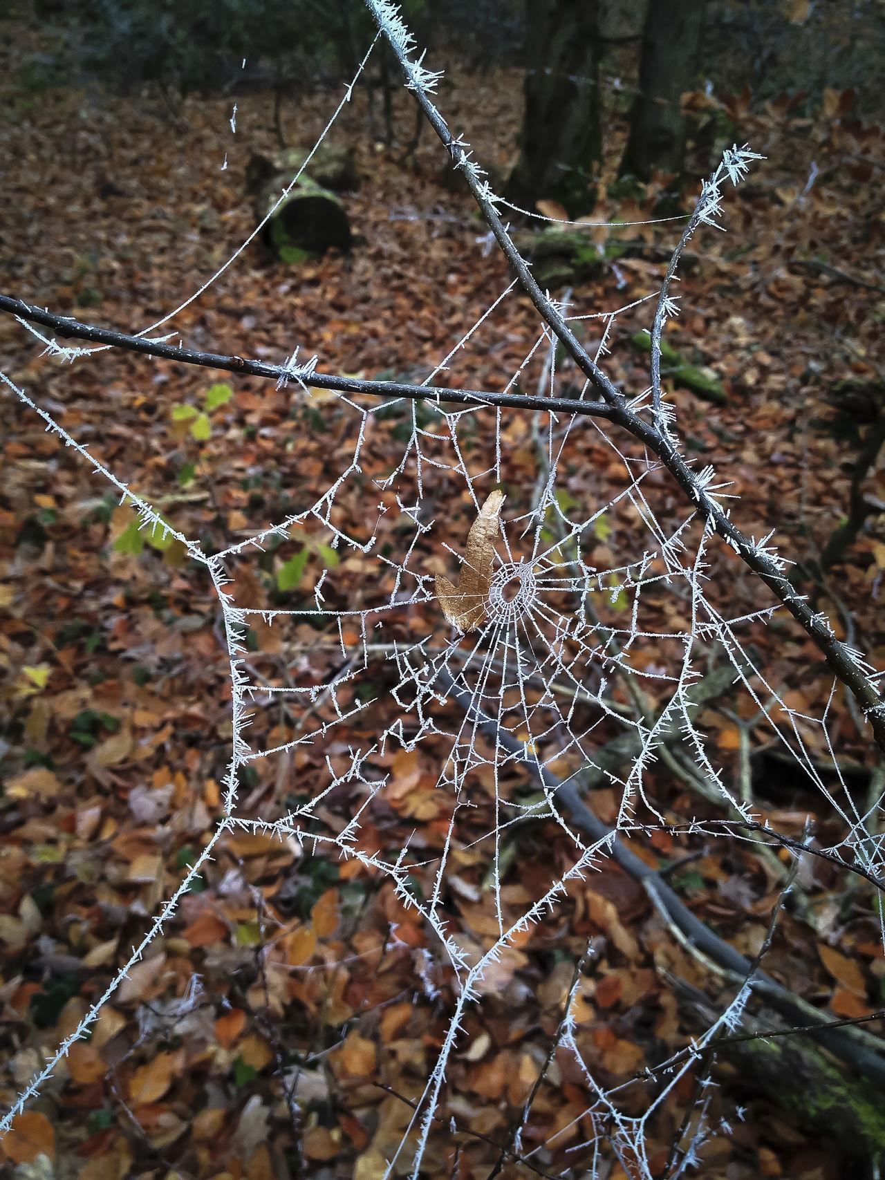 Bosque Eis Forest Hielo Ice Spider Web Spinnennetz Tela De Araña Telaraña Wald