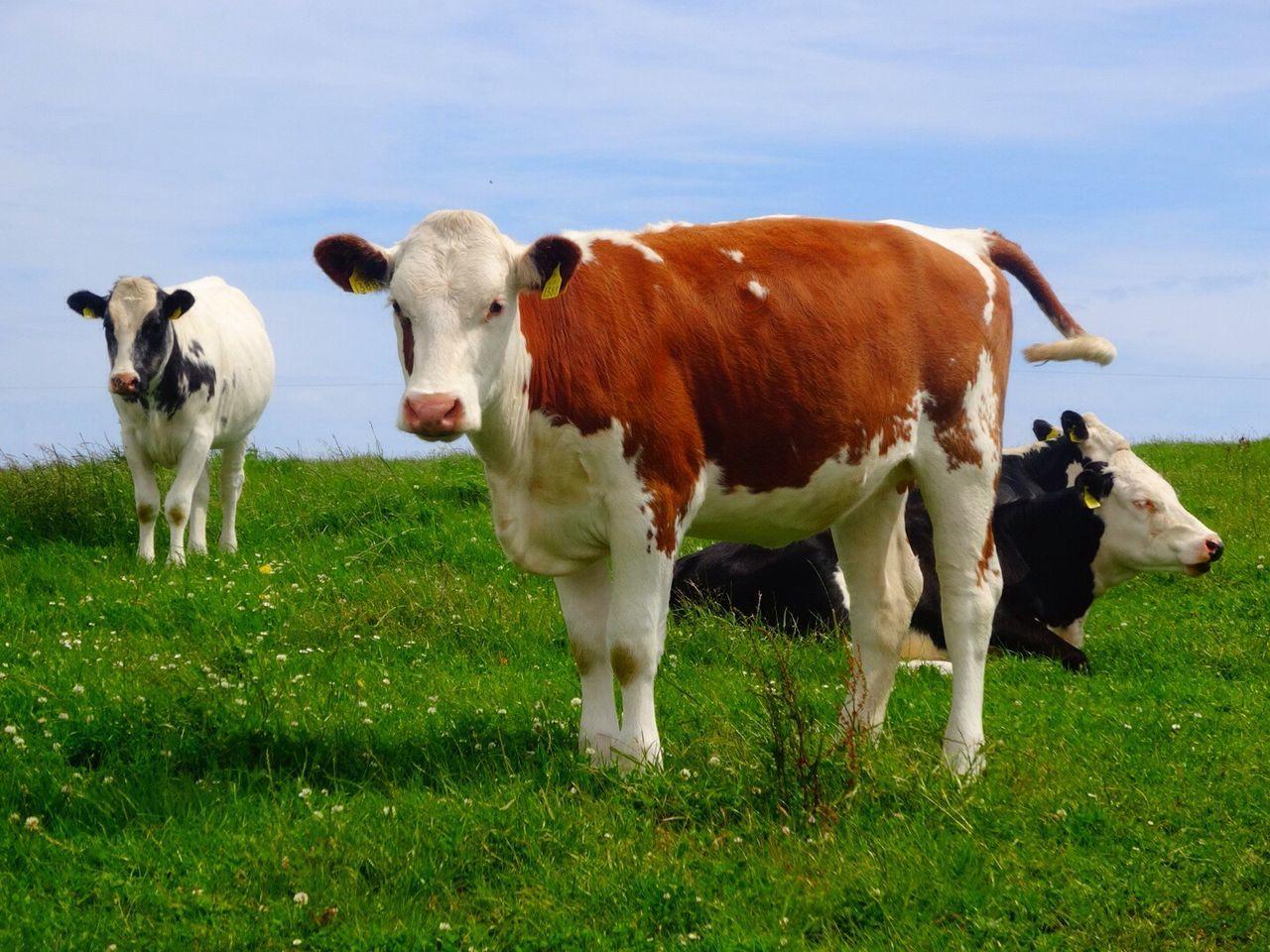 The Cow Cows Cow Mucca Irlanda Ireland Wildatlanticway Ocean