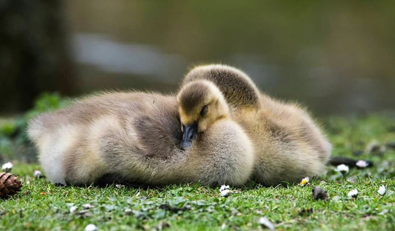 Night night!! Sleep tight!! 😍 Gosling Goose Gooses Family Canada Goose Baby Birds Sleeping Bird Wildlife Wildfowl Branta Canadensis Cute Animals Cutenessoverload Bird Photography Birds_collection Birds Of EyeEm  Birds🐦⛅ Ig_great_pics Rspb_love_nature Bird_brilliance Bird_lovers_daily Allmightybirds