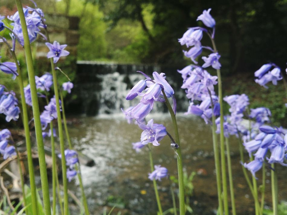 Freshness Flower Purple Focus On Foreground Stem Nature Springtime Beauty In Nature Plant Arrowe Country Park Arrowe Park Arrowe Brook Waterfall Wirral Merseyside