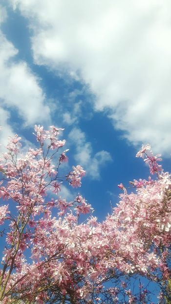 Magnolia Loebneri Magnolia Tree Freshness Freshness Day Cloud - Sky Magnolias Blooming Magnolienknospe Treetop Close-up Branch Flower Garland No People Outdoors Beauty In Nature