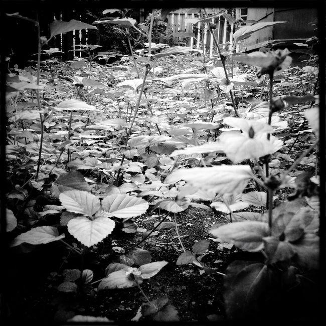 Fern ground cover. Blackandwhite