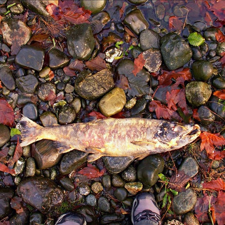 Salmon Salmonrun River Stream upriver upstream dead death rocks stones fall autumn sookeriver spawn swim october november sooke bc nature circleoflife fish smell purple leafs leaf purpletuesday