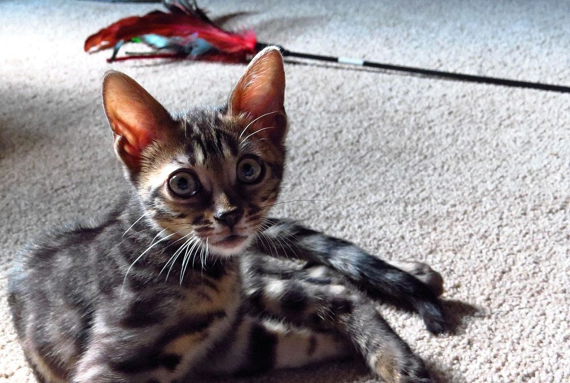 She was 1lb when I brought her home... Hard to imagine~ Bengal Cat Bengal Ilovemycat Cat Cute Pets Check This Out From My Point Of View Bengals Tadaa Community Creative Light And Shadow
