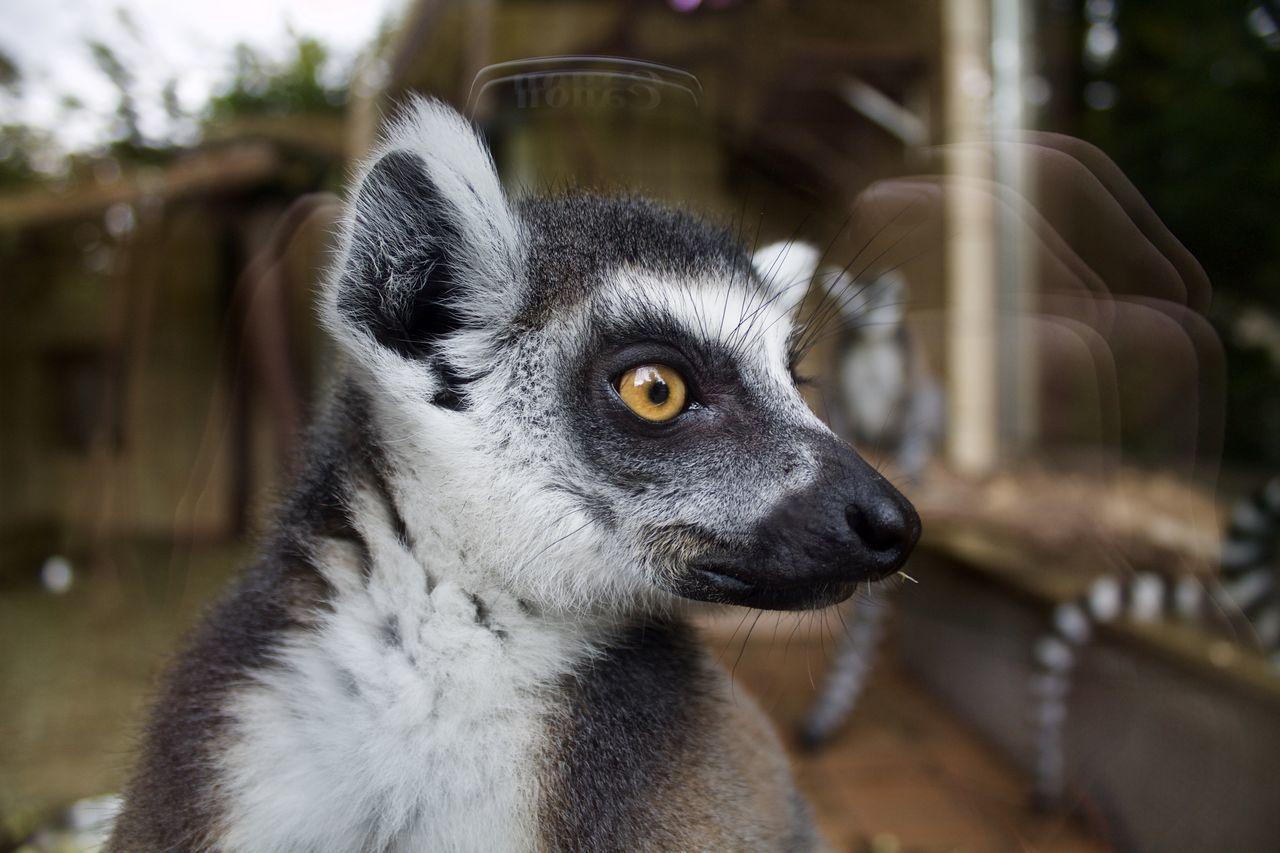 Close-Up Of Lemur At Landau Zoo