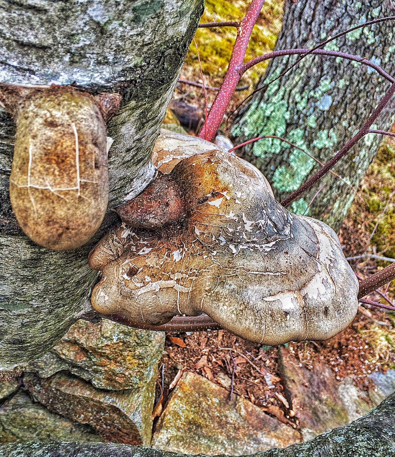 Out walking my dog again, birch polypore... Kanbatake Outdoor Photography Outdoors Outside Photography Outside Iphonephotography IPhoneography USA New England  Connecticut Stratford Nature_collection Nature Walking Walking Around Walk Walkabout Polypore Birch Tree Birch Fungi Fungus 🍄 Fungus