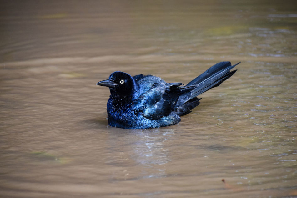 Great tailed grackle bathing Great-tailed Grackle