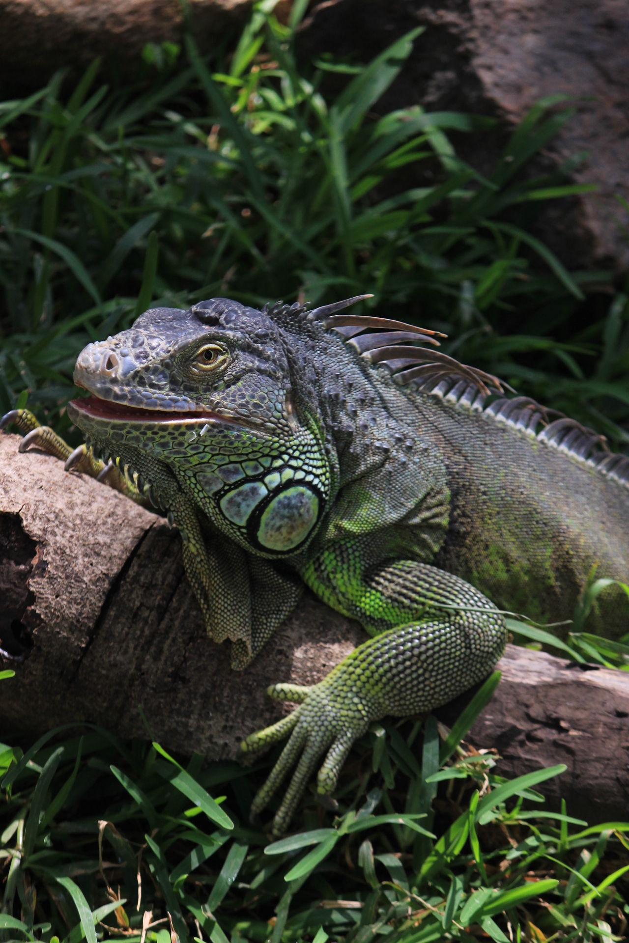 Creepy Raptor Iguanaa Iguana Love Iguana Crocodile Park ECR Green