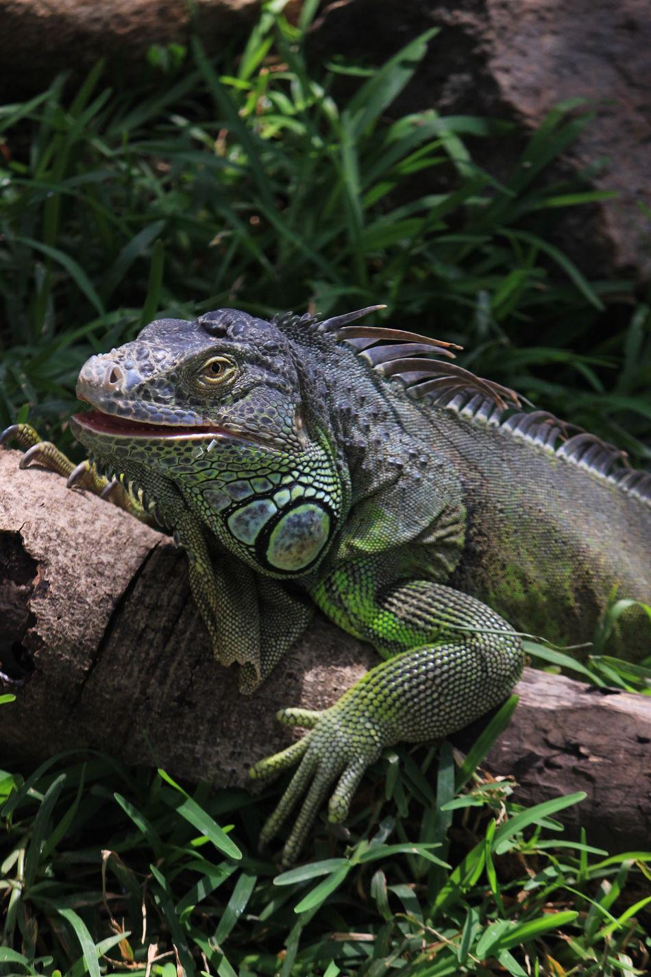 Creepy Raptor Iguanaa Iguana Love Iguana Crocodile Park ECR Green