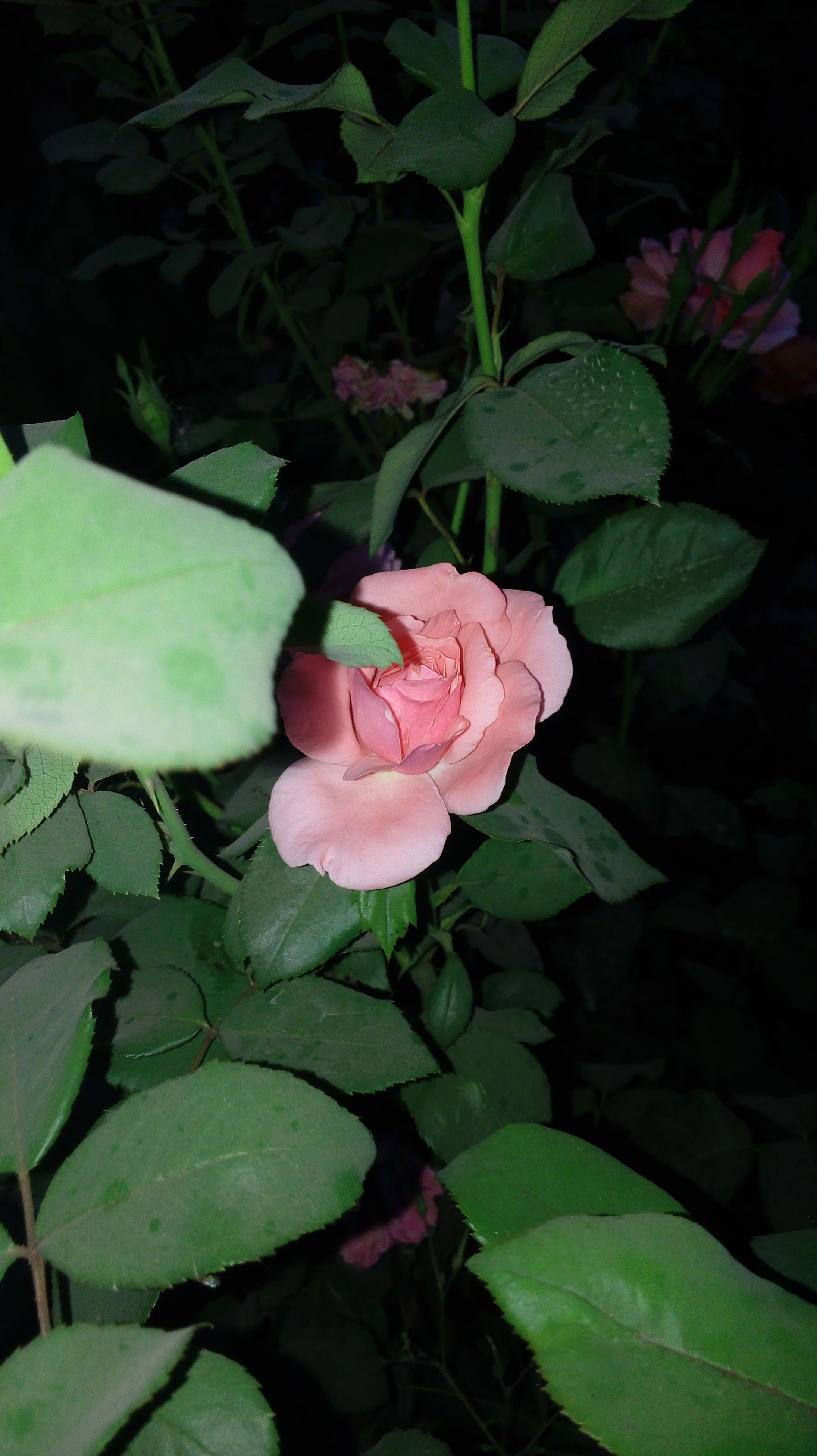 flower, petal, leaf, freshness, growth, fragility, flower head, beauty in nature, plant, nature, blooming, close-up, green color, pink color, in bloom, rose - flower, high angle view, park - man made space, single flower, blossom