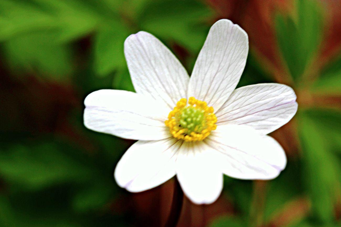 Flower Hvitveis Wild Flowers