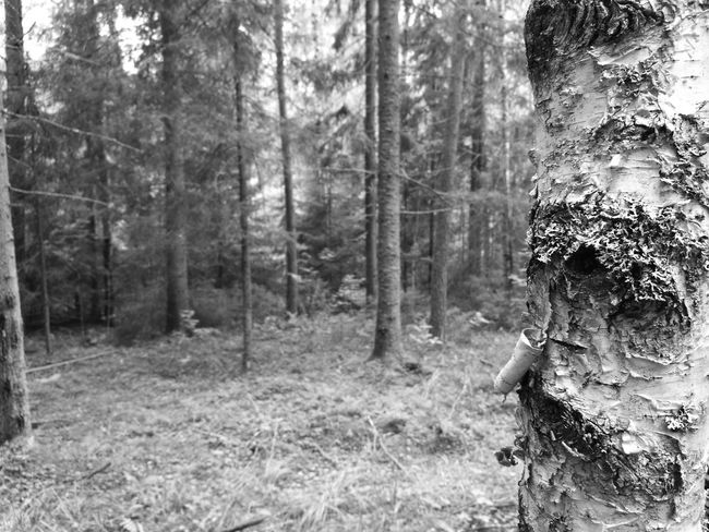 Focus at Birch Just Now Nature Finland HuaweiP9 Black & White Black And White Photography Backgrounds Purist No Edit No Filter Smartphone Photography Noedit Nofilter Manual Focus Walking In The Forest Focus On Foreground Monochrome Photography