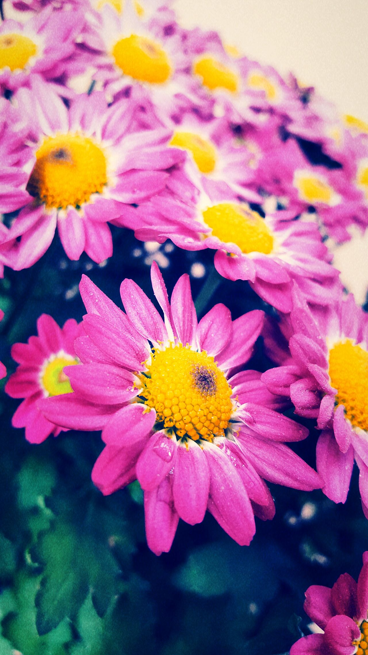 Pink daisy Daisy Flower Pink Purple My Point Of View Fresh On Eyeem  Eyeem Photography The Week Of Eyeem My Capture  Check This Out Eyeem Beautiful Nature Hello World Cameron Highlands EyeEm Outdoors Outdoor Photography EyeEm Nature Lover Flowers Daisy Close Up Blooming Blossoms  Colour Of Life
