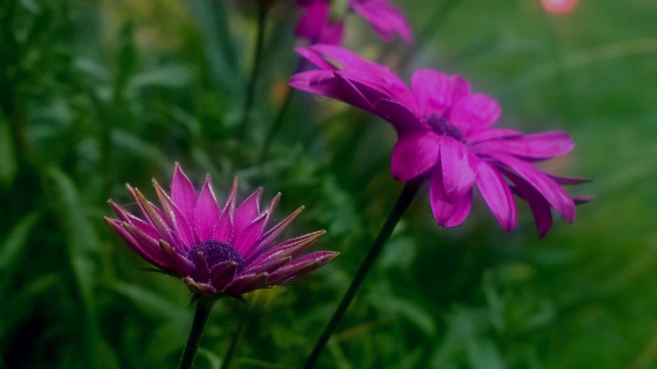 flower, growth, fragility, beauty in nature, petal, nature, freshness, flower head, pink color, blooming, plant, day, outdoors, no people, focus on foreground, green color, purple, close-up, park - man made space, eastern purple coneflower