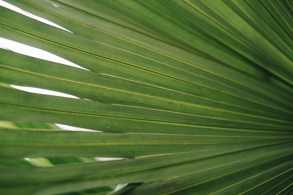 Leaf Close-up Palm Tree Nature Backgrounds Green Color Full Frame No People Growth Frond Tree Freshness Beauty In Nature Outdoors
