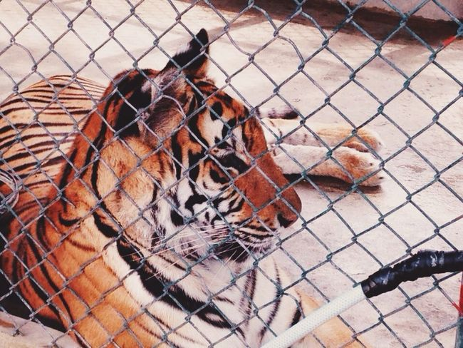 Youve got the eye of a tiger Eyeem Philippines Animals Tiger Beautiful Creature Hello World Wildlife