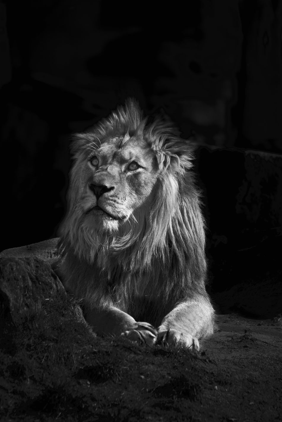 lion wake up Animal Animal Themes Cat Cats Day HEAD Lion Lion King  Lionking Lions No People One Animal Relaxation Zoo Zoo Animals  Zoophotography
